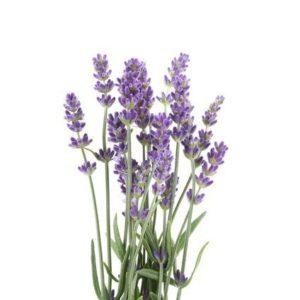Vaporizer Kräuter Lavendel